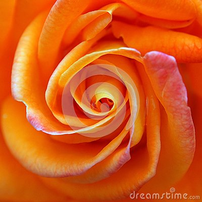 Free Bright Orange Rose Stock Photo - 46023420