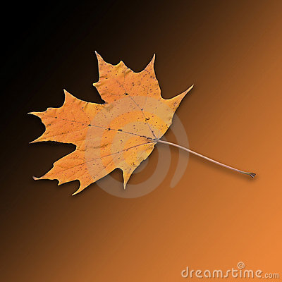 Bright orange yellow gold sugar maple leaf