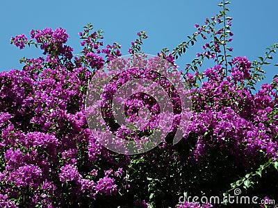 Bright pink Bouganvillea spectabilis