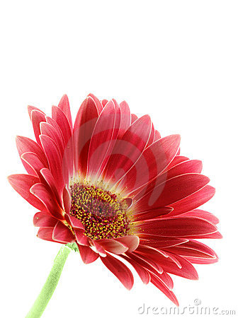 Bright pink gerber daisy isolated