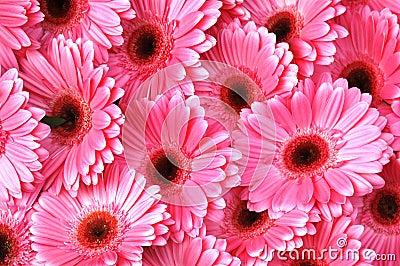 Bright Pink Gerbera Daisies