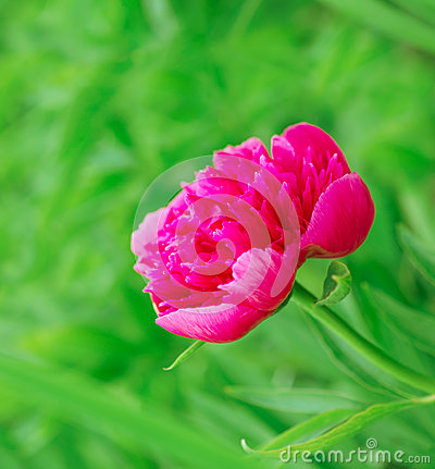 Bright pink peony in nature