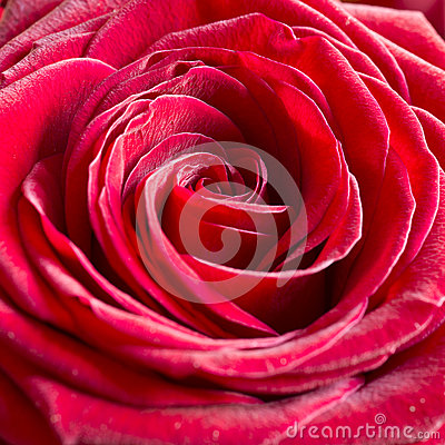 Free Bright Pink Rose Background Stock Photo - 28970120