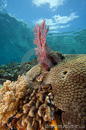 Bright pink sea fan on a tropical coral reef