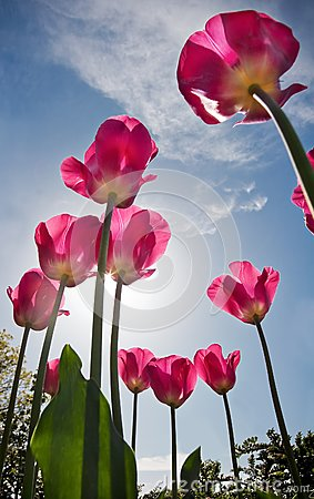 Bright pink tulips against blue sky