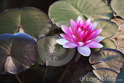 Bright Pink Water Lily