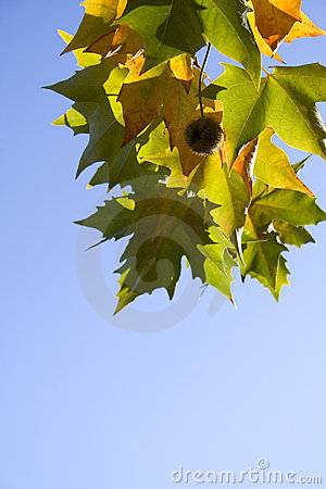 Bright platanus tree leaves