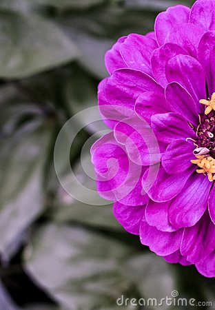 Free Bright Purple Zinnia Macro Blooming In A Garden Of Green Stock Photos - 111963633