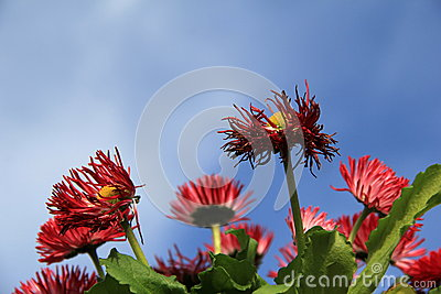 Bright red African daisies with blue skies Stock Photo