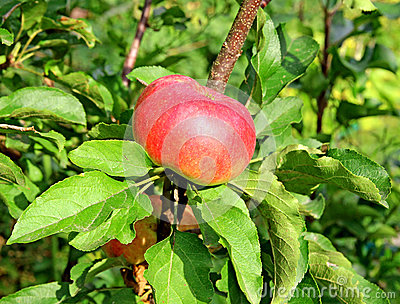 Bright red apple on a branch