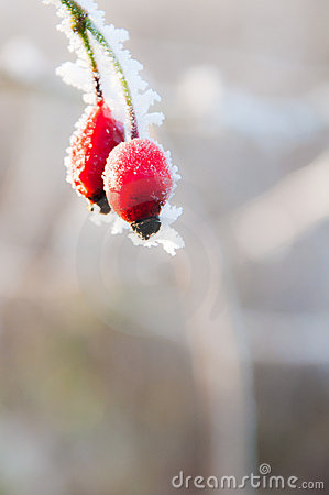 Bright Red Frosted Berries