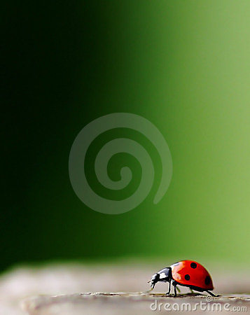 Free Bright Red Lady Bug Stock Photography - 5603522