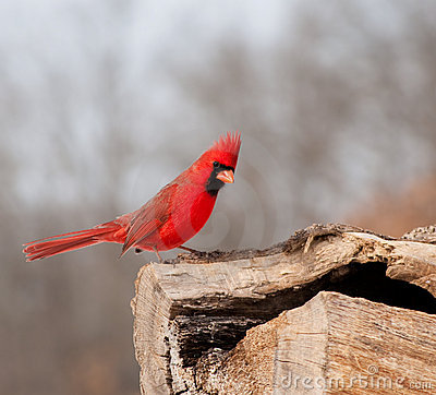 Bright red Northern Cardinal searching for food