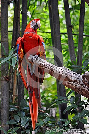 Bright red parrot