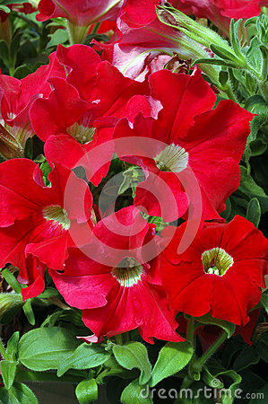 Bright Red Petunias with Pale Yellow Eyes