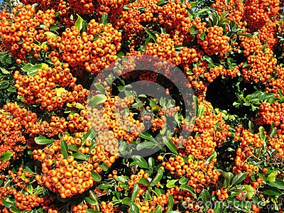 Bright red pyracantha (Pyracantha coccinea)