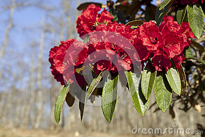 Bright Red Rhododendrons