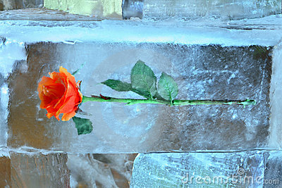 Bright rose in icy composition on Christmas