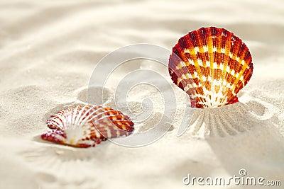 Bright Scallop shell on fine white beach sand