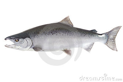 Bright silver Coho salmon isolated on white