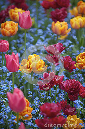 Free Bright Spring Flowers Colorful Pink Orange Magenta Tulips Ornamental Garden Royalty Free Stock Photography - 32235267