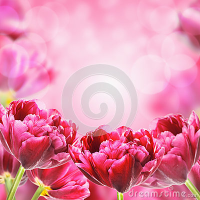 Free Bright Spring Tulips Flowers, Floral Background Royalty Free Stock Images - 47779489
