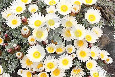 Straw flowers white yellow