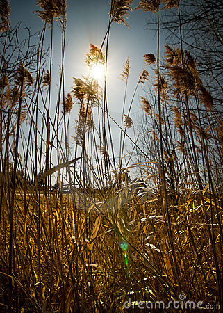 Bright Sun Shines Through Tall Weeds.
