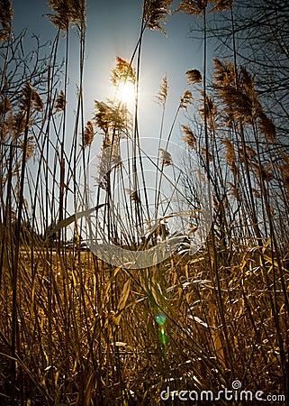 Bright Sun Shines Through Tall Weeds.