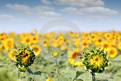 Bright sunflower field