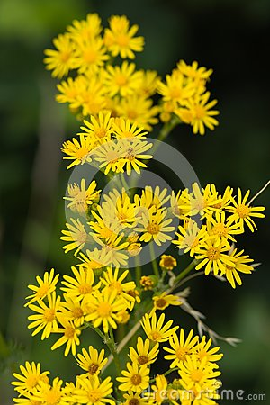 Bright Yellow Daisy on a green Background