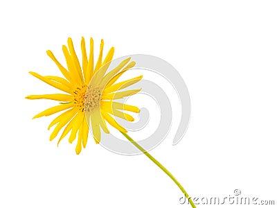 Bright Yellow Daisy Isolated