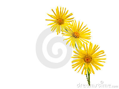 Bright Yellow Daisy Isolated
