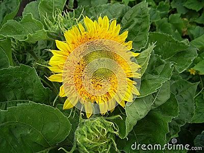 Bright yellow flower of sunflower