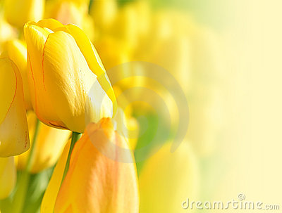 Bright Yellow Flower Tulip Background