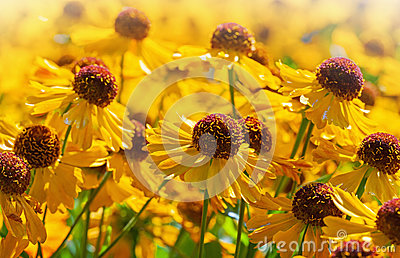 Bright yellow helenium flowers
