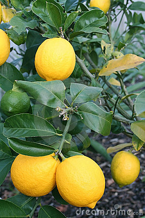 Bright Yellow Meyer Lemons