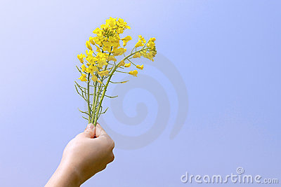 Bright yellow napus flowers in their hands