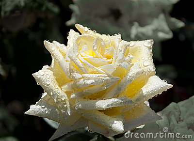 Bright yellow rose with dew drops.