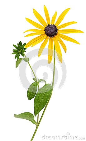 Free Bright Yellow Rudbeckia Or Black Eyed Susan Flowers Royalty Free Stock Images - 45655999