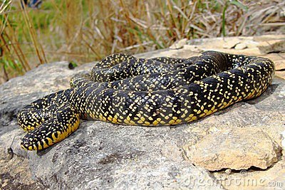 A bright yellow Speckled Kingsnake (King Snake)