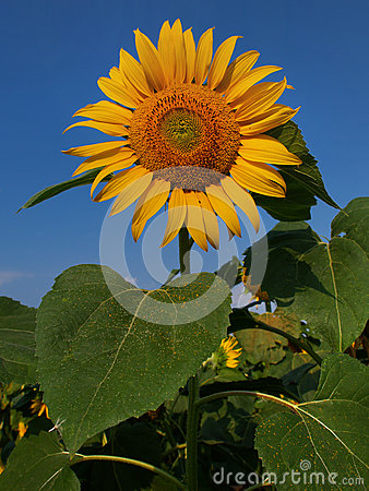 Free Bright Yellow Sunflower With A Huge Green Leaves On A Background Of Blue Sky, Sunny Day, Summer. Stock Photo - 89546980