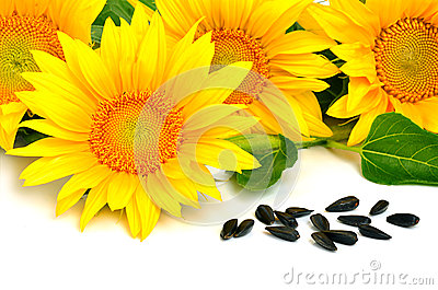 Bright yellow sunflowers and sunflower seeds