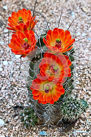 Free Brightly Blooming Cactus Stock Photos - 30189393