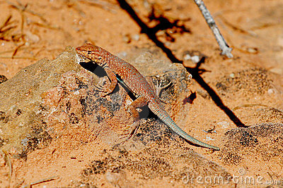 Brightly Colored Desert Lizard