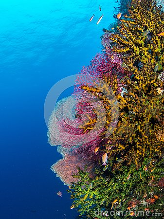 Free Brightly Coloured Tropical Coral Background. Misool, Raja Ampat, Indonesia Royalty Free Stock Photography - 151394277