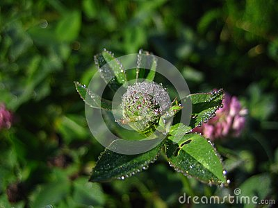 Brilliant dew on a clover