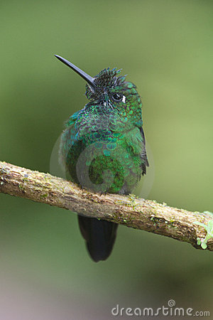 Brilliant green hummingbird from Costa Rica