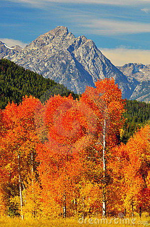Brilliant orange trees and snow capped mtns.