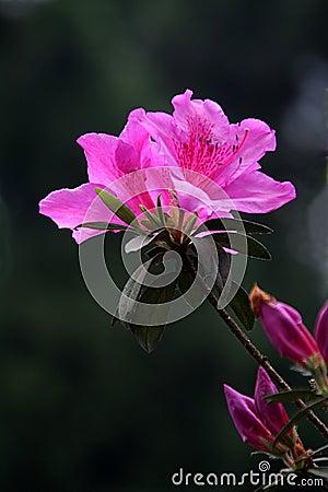 Brilliant Pinky Bloom